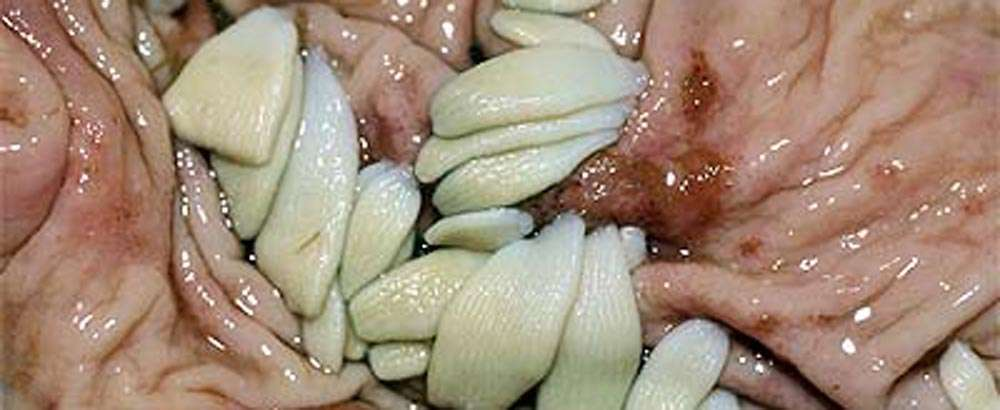 Tapeworms Can Cause Colic In Horses Meddleton Equine